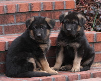 German Shepherd Puppies German Shepherd Puppy Breeder German