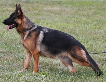 c429abf6b7a Here are some pictures of our breeding German Shepherds Pako and Braddock  and Dakota and Tuni along with Our Dams here at Capriole Farm German  Shepherds.